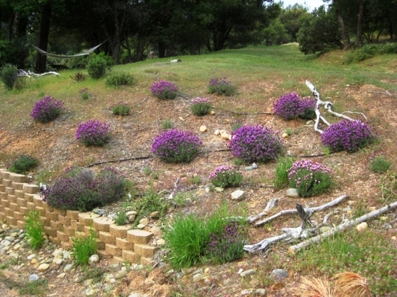 2011 Lavender in full bloom in the gravel soil