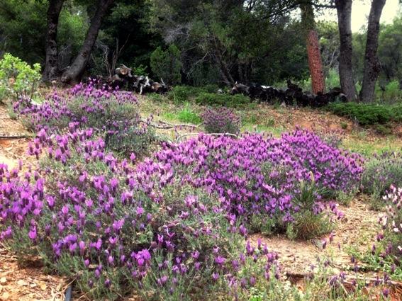 2014 Lavender field