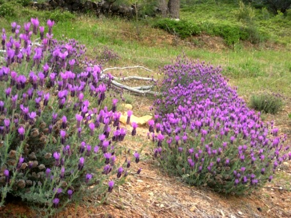 2014 Lavender fields hopefully for a long time maybe not forever