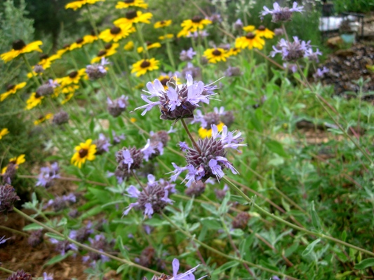 Cleveland sage and Rudbeckia