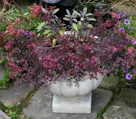 Sedum 'Vera Jameson' with Purple culinary sage and lavender Million bells