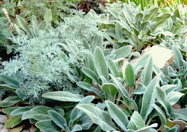 Icy blue Artemisia and Lamb's Ear glisten