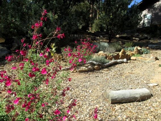 Salvia greggii 'Rose Pink'.