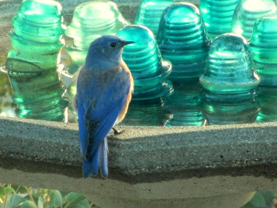 A Western bluebird visits  along with a brood of tiny offspring
