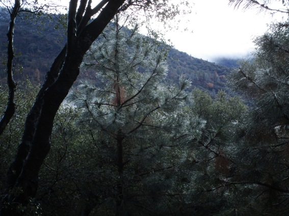 Raindrops on pine