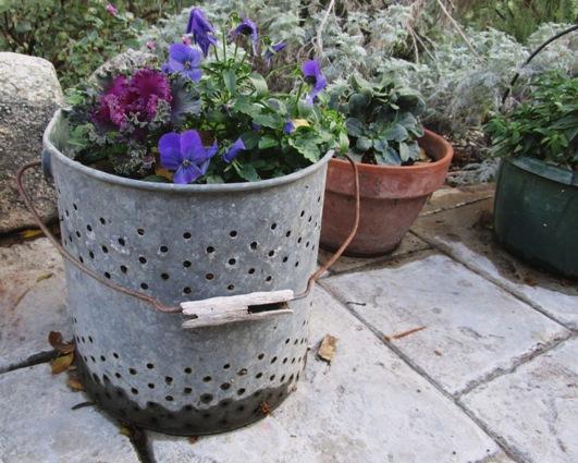 Violas in bait bucket