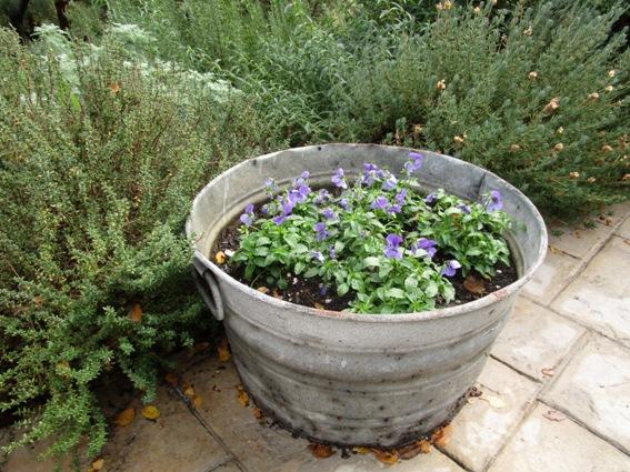 Violas in tub