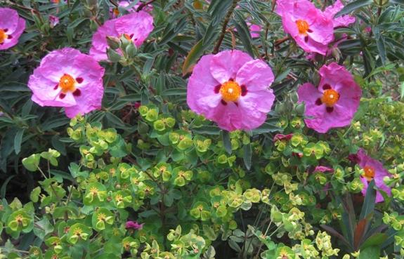 Rockrose and Purple Euphorbia