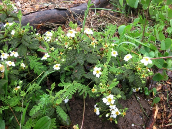 Bear clover, Chamaebatia foliolosa