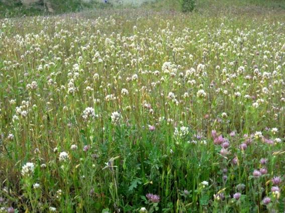Field of Valley Tassels, Castilleja lineariloba