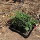 Straw bale remnant garden