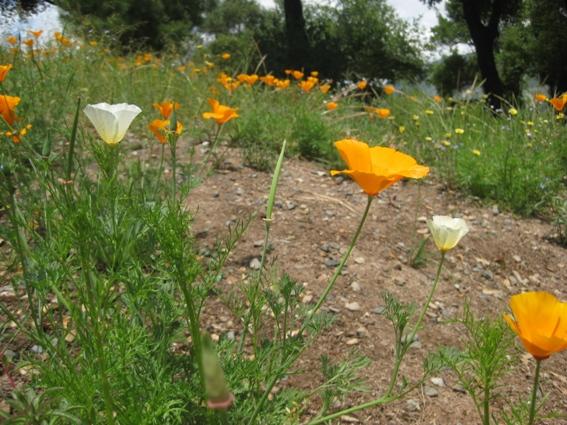 White and orange CA poppies