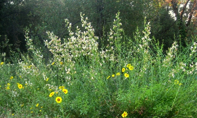 The Wildflowers: Yellows and whites