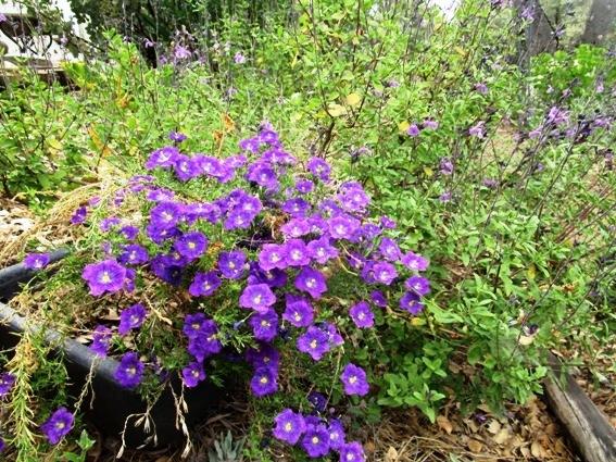 Cupflower, or Nierembergia