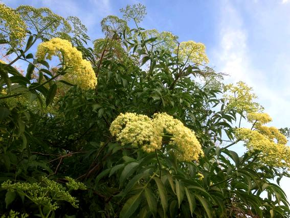 Elderberry, with creamy white umbrels, umbrella shaped blooms
