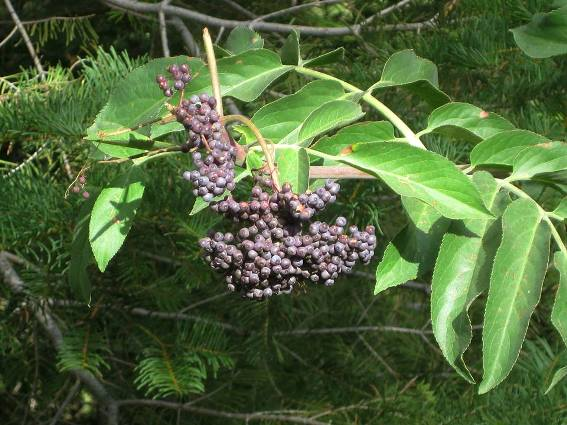 Sambucus mexicana, Elderberry berries!