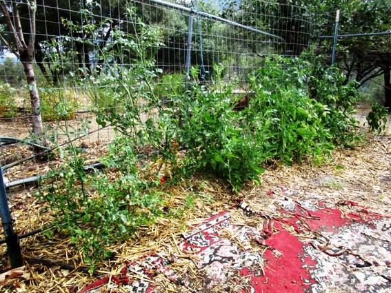 Tomatoes, planted in straw