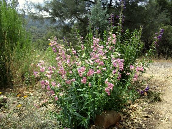 Evergreen Penstemon 'Lavender Ruffles'