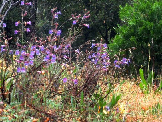 Foothill Penstemon blooms in May and June