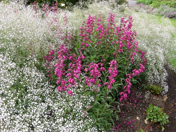 Scarlet Penstemon and Baby's breath