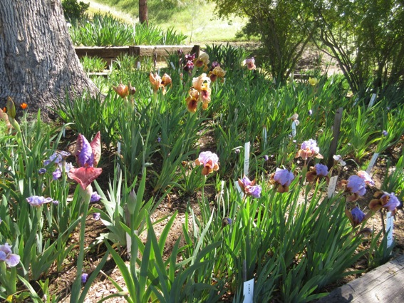 A bed of colorful early blooming Aril-bred Iris, hybrids of modern iris and iris species from the near east