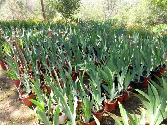 Bill pots up hundreds of extra Iris for gardener's instant gratification