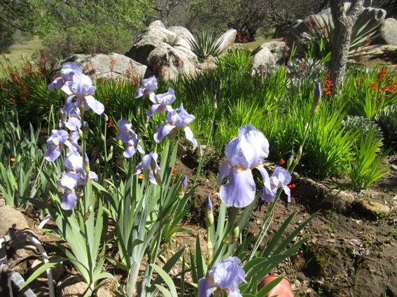 Historic Iris
