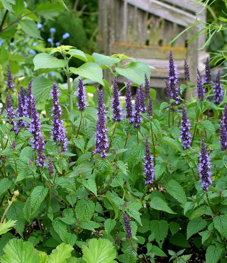 Agastache rugosa 'Heronswood Mist'