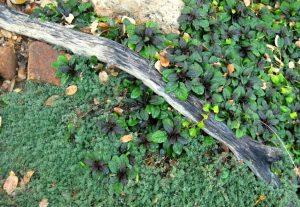 Creeping thyme and Ajuga