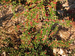 Firethorn, Pyracantha coccinea