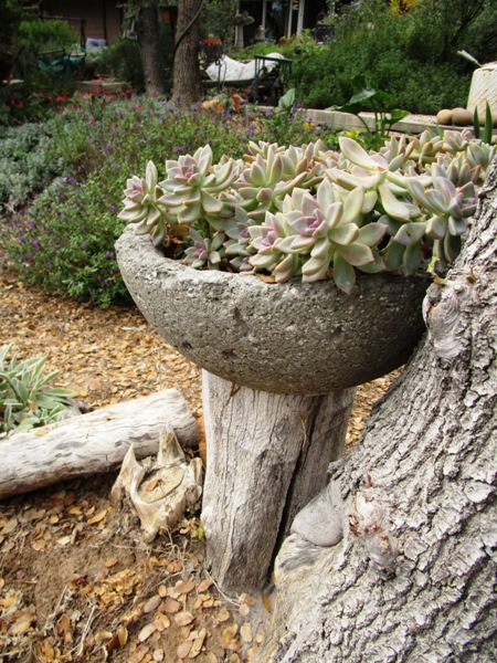 Ghost plant, Graptopetalum paraguayense, grows in a handmade hypertufa trough