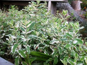 Pineapple Mint, Salvia elegans