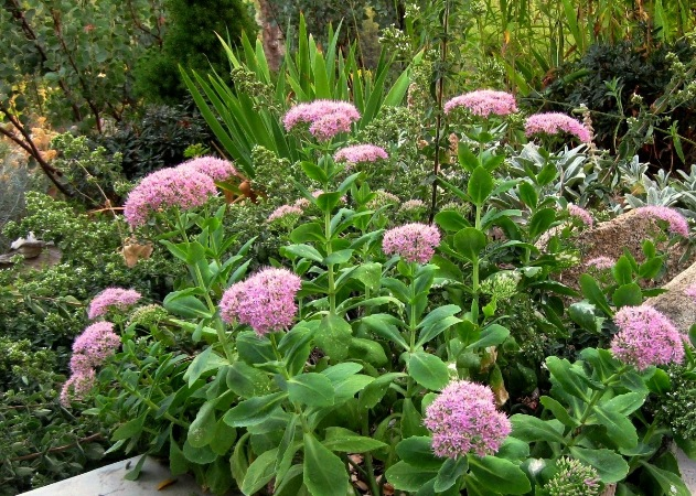 Stunning Sedum 'Autumn Joy' in September