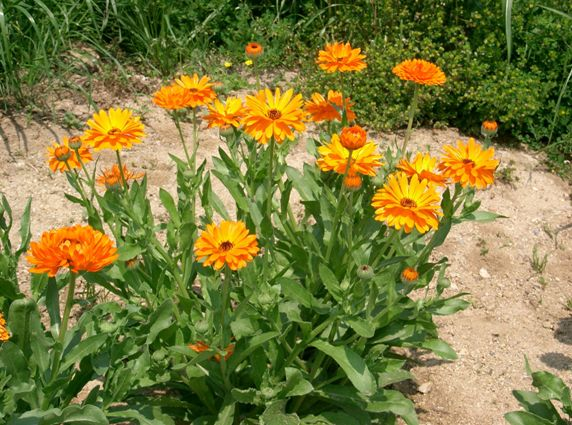 Calendula officinalis, is basically a hardy 'winter' marigold