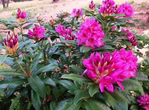 Rhododendron ponticum catawbiense 'Anah Kruschke