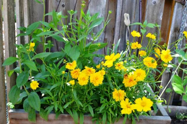 The coreopsis came up from the seeds I planted last year