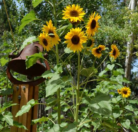 This is a Sunflower 'Alien' volunteer, that's one plant