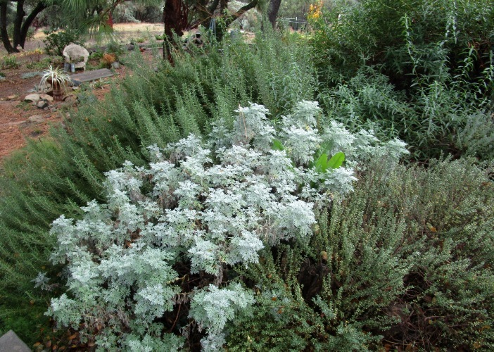 White Artemesia 'Powis Castle' adds contrast to the evergreens