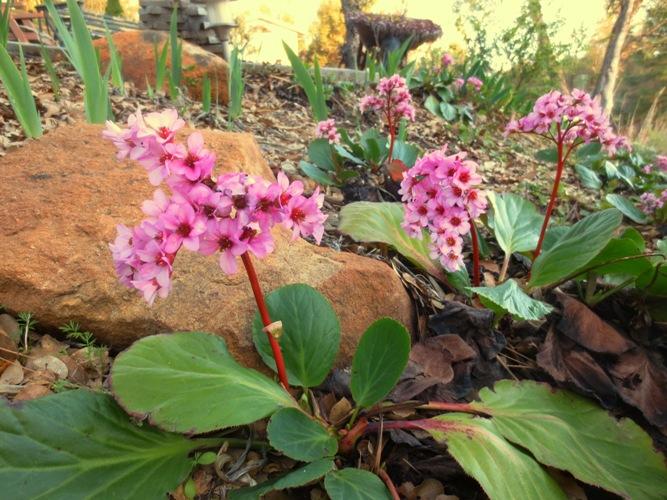 Winter blooming Bergenia is blooming now in my garden